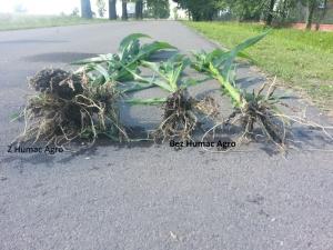 Kukurydza system korzeniowy z Humac i bez