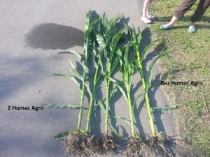 Kukurydza z Humac Agro i próba kontrolna