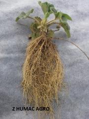 Truskawka z Humac Agro (2)