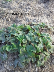 Truskawka z Humac Agro
